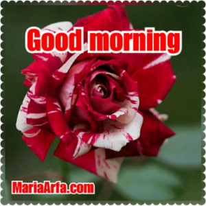 GOOD MORNING IMAGES WALLPAPER PICTURES HD DOWNLOAD WITH RED ROSE